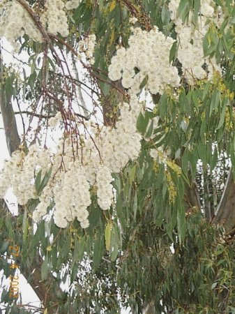 Eucalyptus Trees P Y Milligan Seeds Milligan Seeds